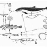 アニサキスが寄生している可能性の高い魚は?