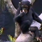 猿が臀部の匂いをかいで臭すぎて木から落ちる動画